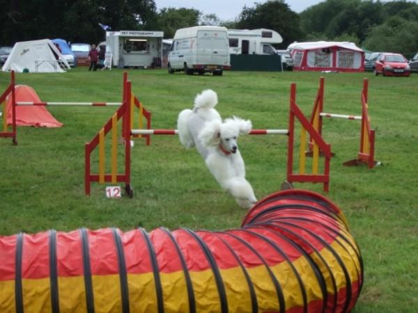 Hasil gambar untuk DOG AGILITY TRAINING IS A FUN, FAST GROWING DOG SPORT